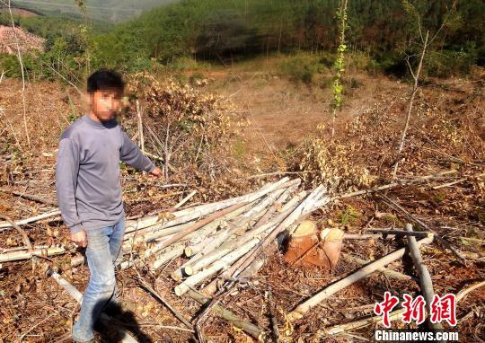 云南景谷破获一起特大滥伐林木案20亩桉树遭砍伐