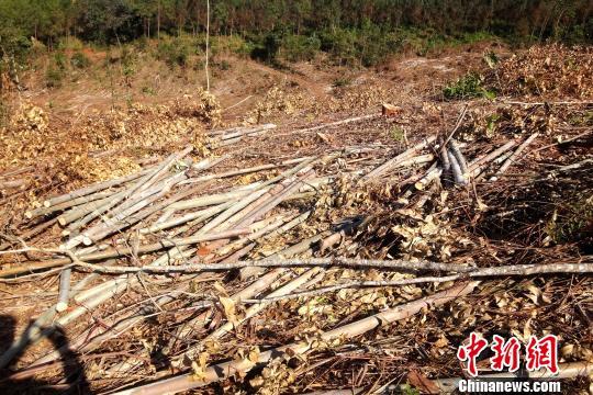 图为滥伐林木现场。 查明坤 摄