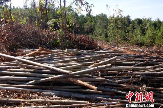 图为非法采伐的桉树。 查明坤 摄